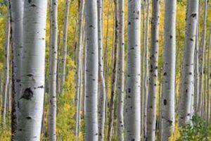 forêt de bouleau